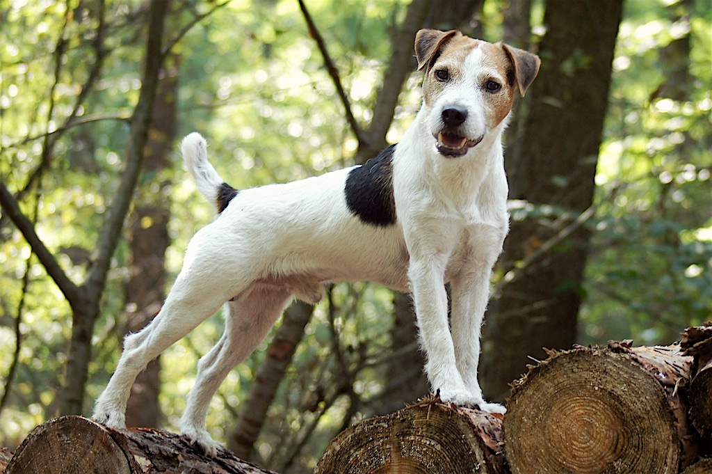 Unser Parson Jack Russell Deckrüde: Conquest Limit (Fox Run Rivet X JR Ranch Taz)