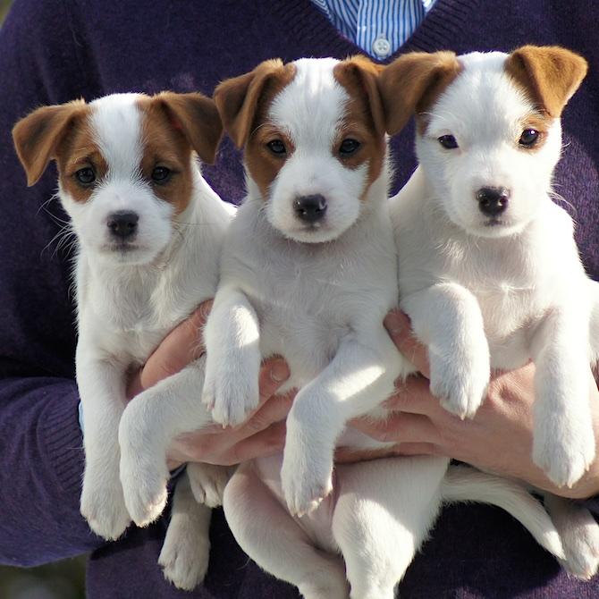 Parson (Jack) Russell Terrier Welpen in Stock- und Rauhaar, weiß-braun