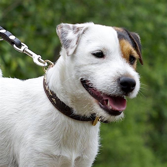 Unterschied Parson Russell & Jack Russell Terrier - erfahren Sie mehr ▶︎