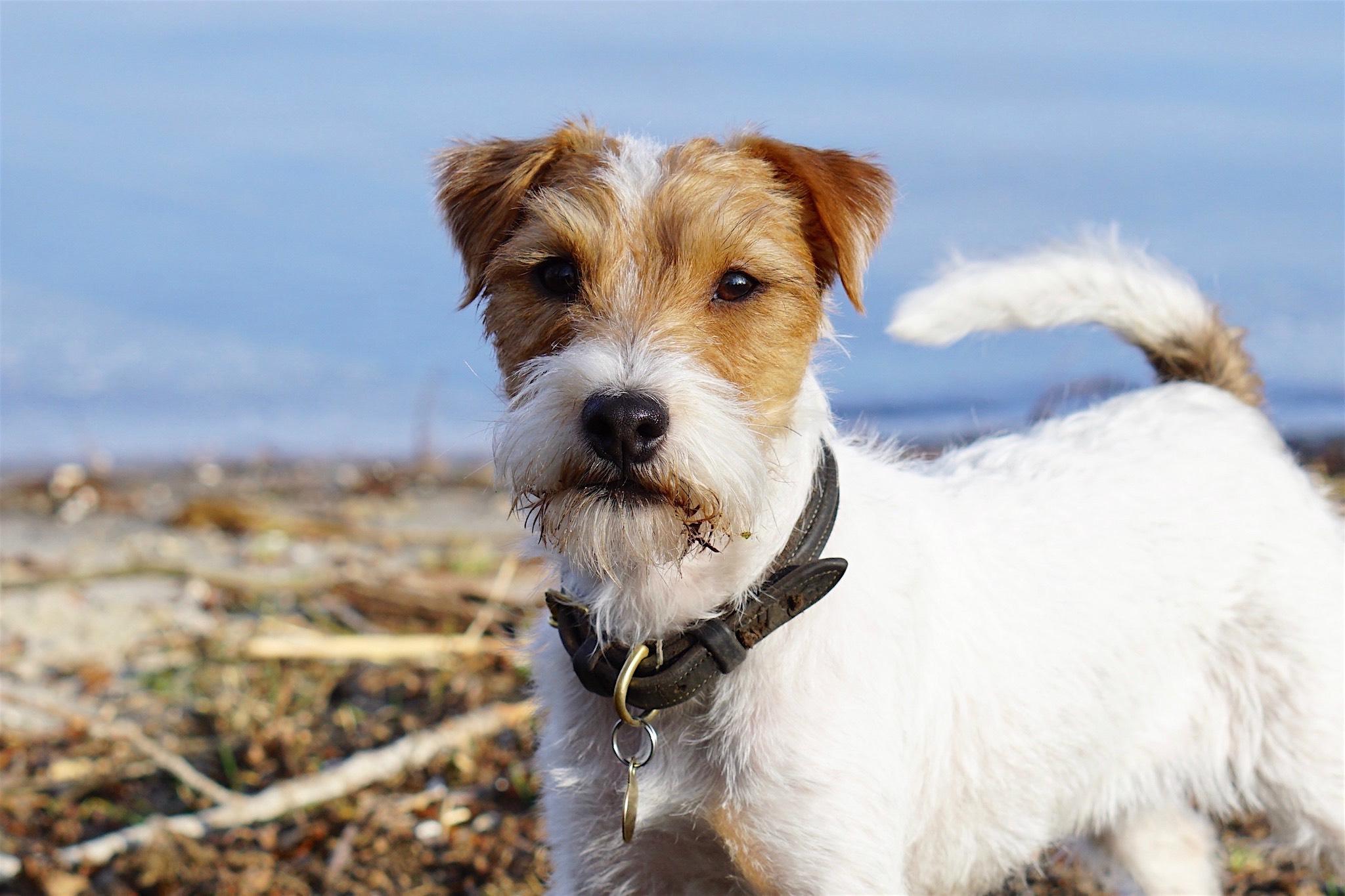 Parson Jack Russell terrier Zuchthündin: REDCAPS GEMMA