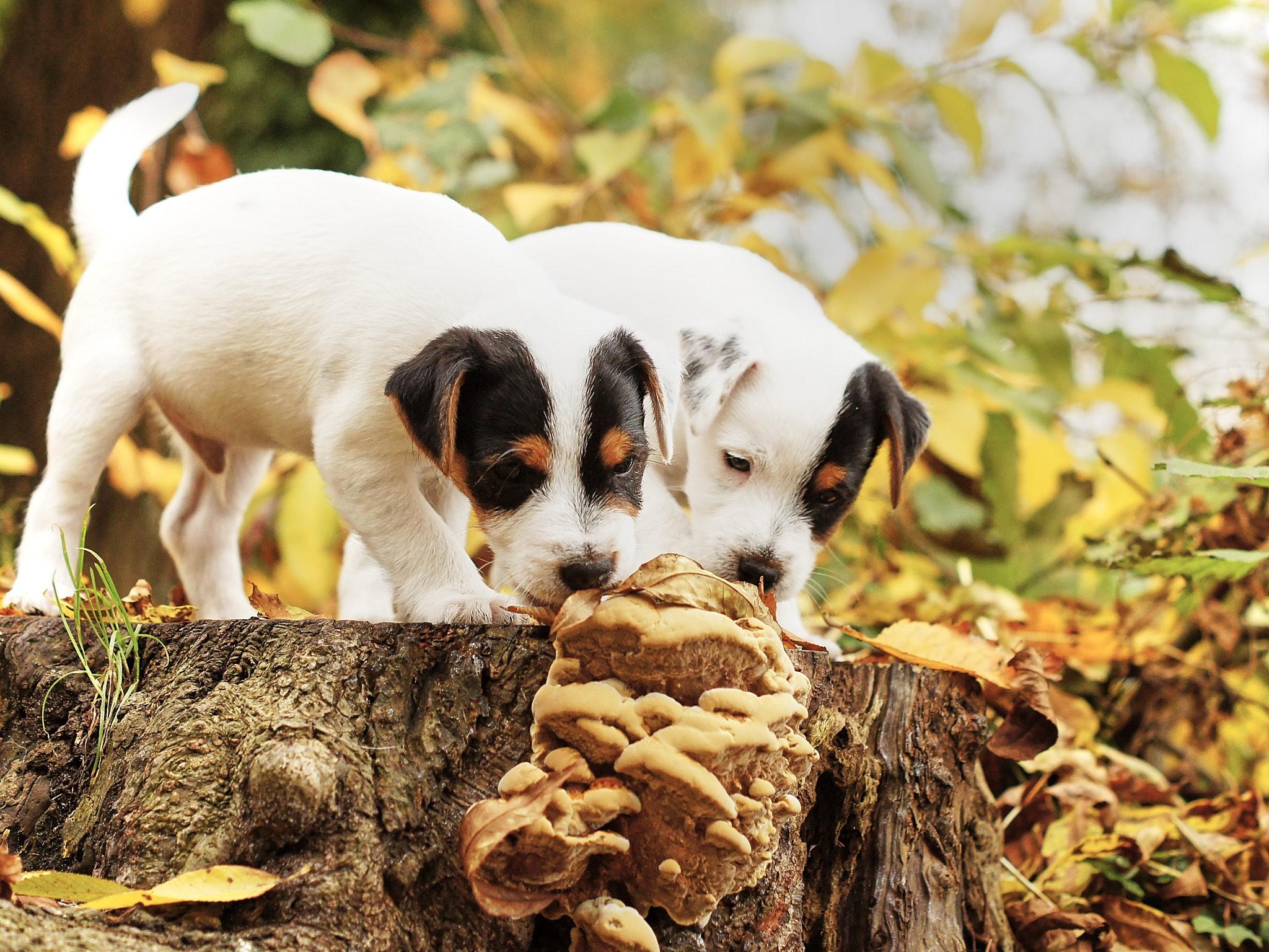 Parson Russell Terrier Welpen, Tricolor, beide verkauft