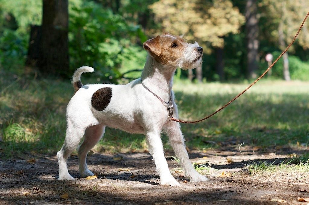 Parson Jack Russell Terrier Hündin, rauhaarig, tricolor