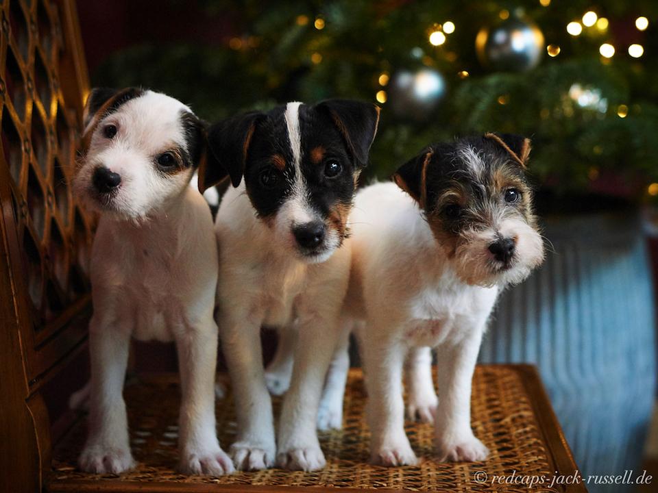Parson Russell Terrier Welpen: Rocky, Rosie & Susie
