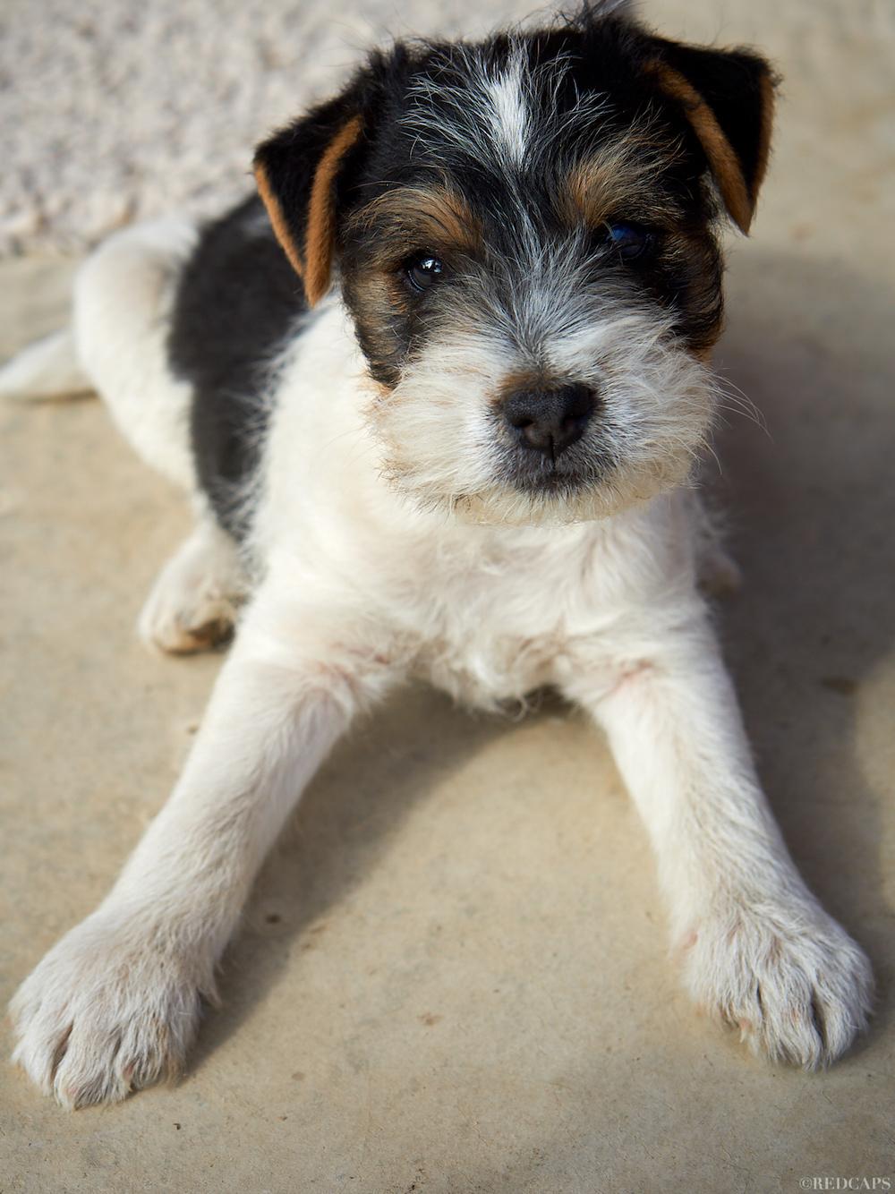 "Parson Russell Terrier Rüdenwelpe ""Idefix"" (verkauft!)"