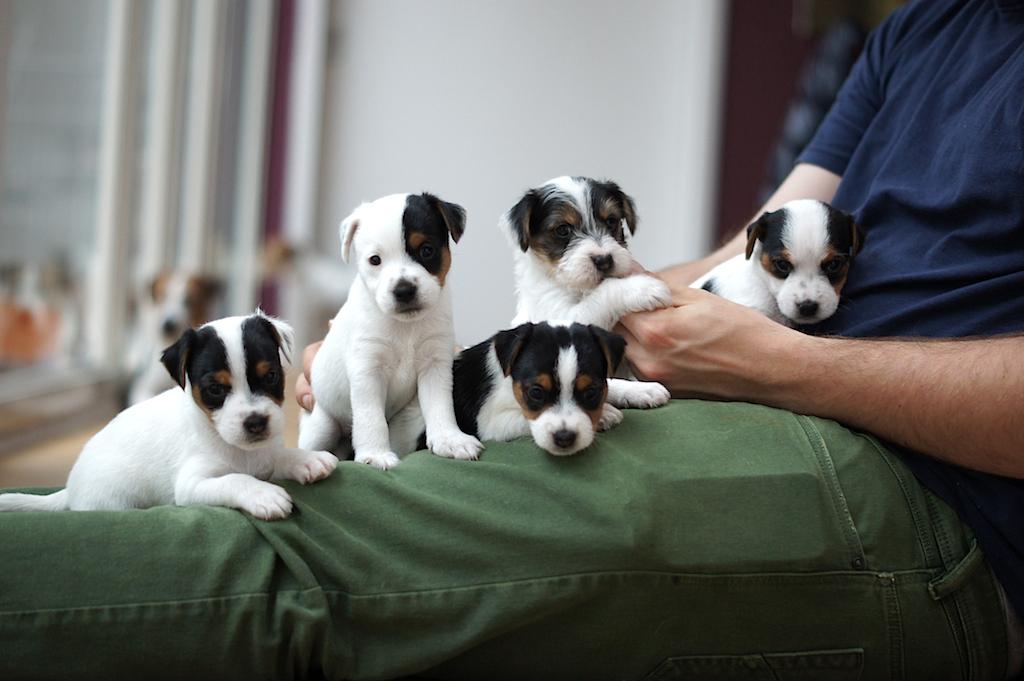 Parson Jack Russell Terrier Welpen in Stock- und Rauhaar ( aus Limit X Stine)