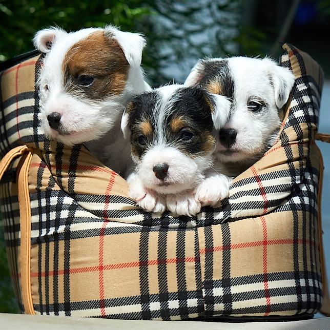 Parson Jack Russell Terrier Welpen zum Verkauf >