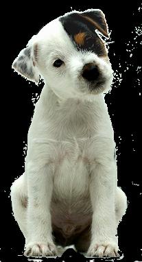 REDCAPS GUSTL - Parson Jack Russell Terrier Welpe (aus Limit X Stine)