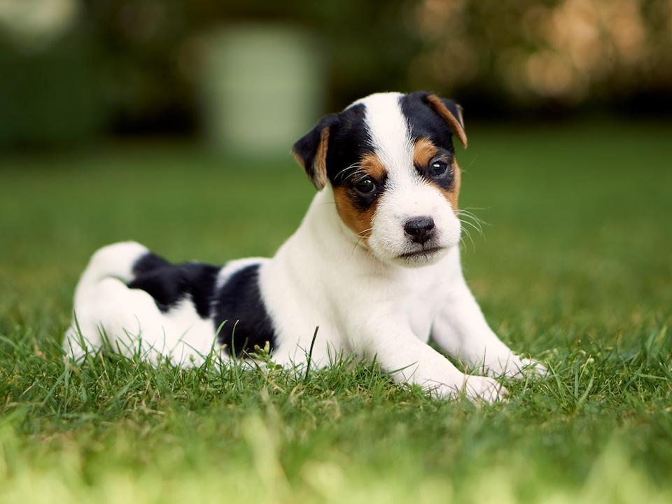 Parson Russell Terrier Rüdenwelpe, Tricolor, Stockhaar (verkauft)