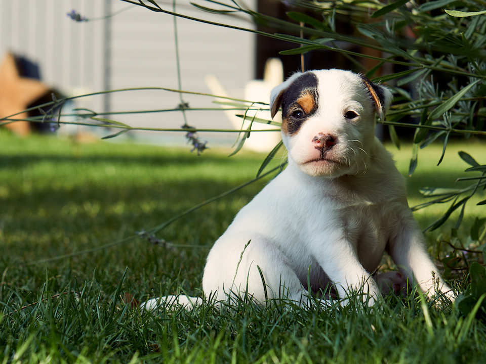 Parson Russell Terrier Rüdenwelpe (reserviert)