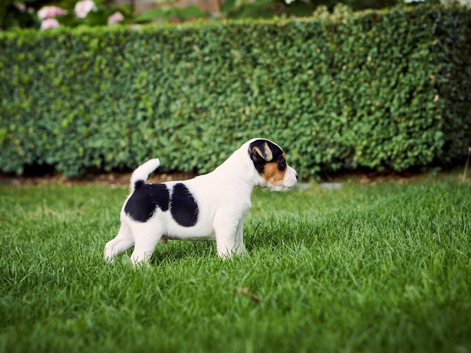 Parson Russell Terrier Rüdenwelpe (verkauft)